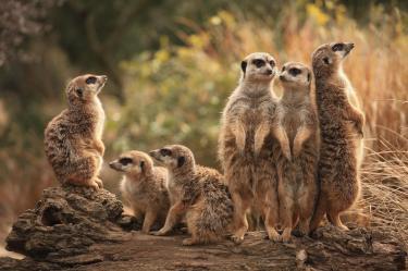 meerkat_family